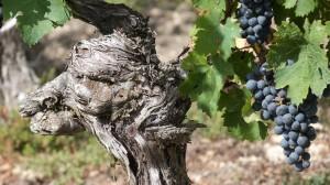 Viticulture1
